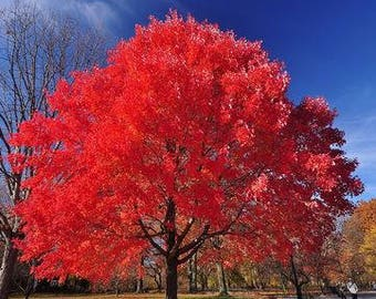 Autumn Blaze Red Maple Tree 20 Seeds clearly superior tree seeds
