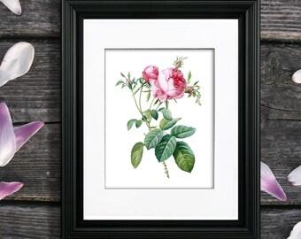 Redoute Rose Print no. 4, unframed Pink Rose art, Single Rose wall art, Pink rose home decor, Pink rose artwork by Pierre-Joseph Redoute