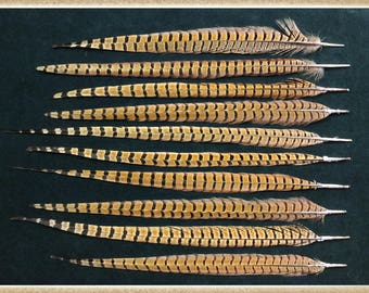 """10 - 17 1/4"""" to 20 1/2"""" pheasant tail feathers from a ringneck rooster pheasants"""