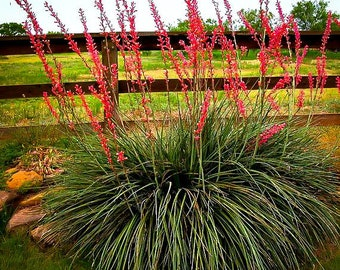 Texas Red Yucca 3 Gallon