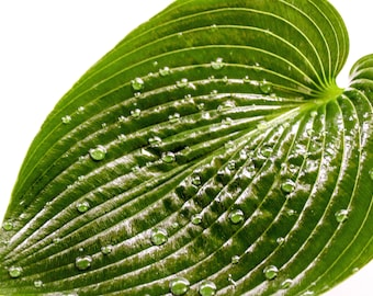 Picture of Water Droplets on a Leaf on Canvas