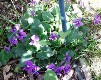 Sale !!!!!!  WILD Purple VIOLET PLUGS , Live Plant,6 rooted plant plugs.