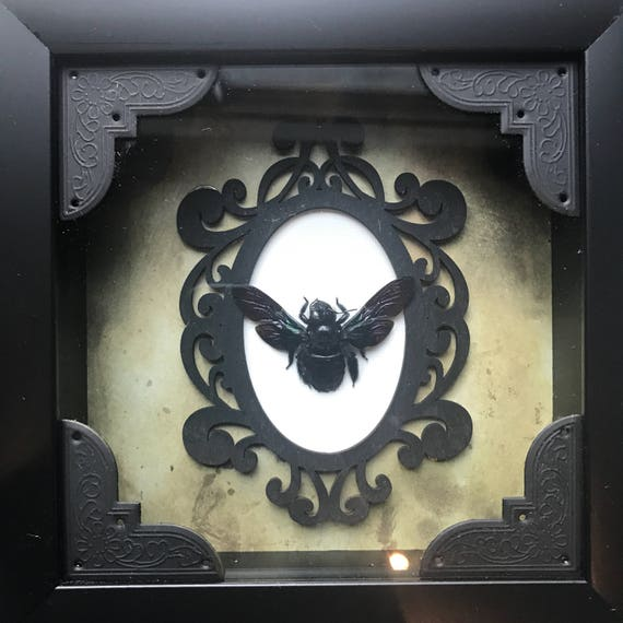 Real huge black bee taxidermy display!
