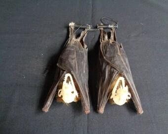Chiroptera: Bat cynopterus sphinx hanging head skeleton (2)