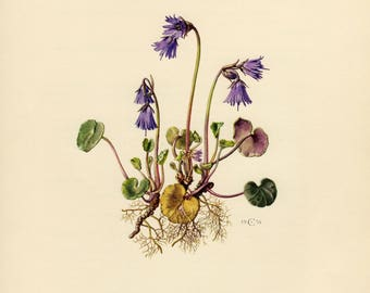 Vintage lithograph of the alpine snowbell or blue moonwort from 1954