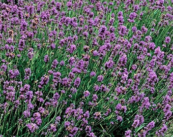 Lavender Heirloom Medicinal Herb Seeds Naturally Grown Open Pollinated Gardening