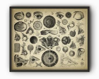 Vintage Eye Anatomy Print - Antique Optician Poster - Eye Anatomy - Eye Physiology - Optometry - Optician Wall Art - Ophthalmologist Gift