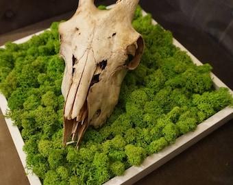 True frame skull / lichen