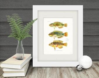 Vintage Fish Natural History Art Print - Plate VI  8x10