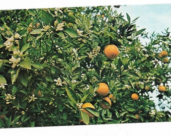 Vintage Florida Chrome Postcard Citrus Close-up of Oranges and Blossoms Groves USED