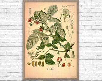 Raspberry Botanical Art Print, Vintage Botanical Home Decor, Raspberry Poster, Kitchen Poster, Kitchen Illustration 1887, Giclee Print