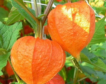 Chinese Lantern Seeds, Excellent for Drying and Decorating, Orange Plant, Pods, 10 Seeds