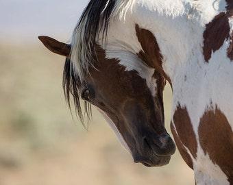 Pride of Picasso - Fine Art Wild Horse Photograph - Wild Horse - Picasso - Sand Wash Basin - Fine Art Print