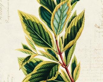 Vintage Botanical Floral on French Ephemera Print 8x10 P310