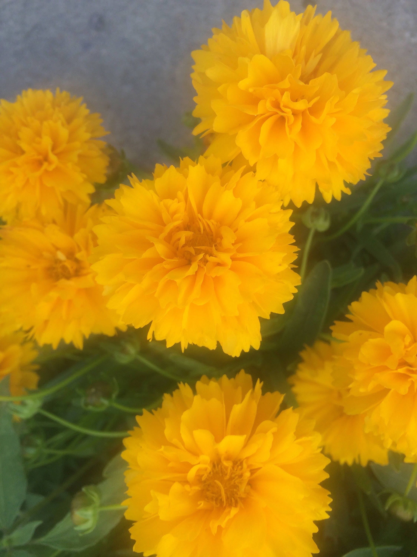 Sale Sunburst Coreopsis Water Wise Drought Tolerant Perennial