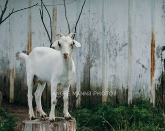 Goat Photograph, Farm Animal Photography, Rustic Home Decor, White Goat on Stump