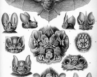 Haeckel Chiroptera, Different Bat Species. Fine Art Print/Poster. (4879)