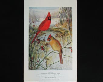Vintage Cardinal Bird Print and Educational Leaflet, Audubon Society