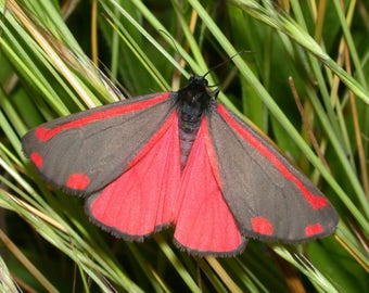One Real Pink Red Day Flying Moth Tyria jacobaeae Kazakhstan