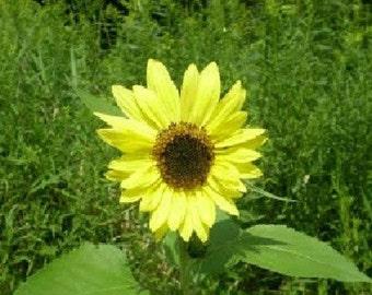 500 Lemon Queen Sunflower Seeds FLOWER SEEDS