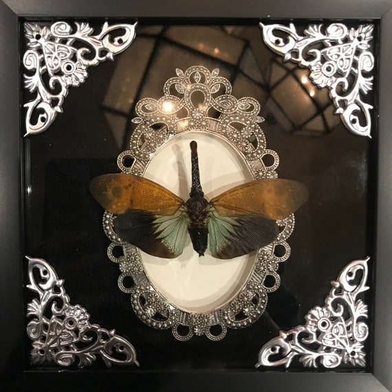 Real red nosed lantern fly taxidermy display!