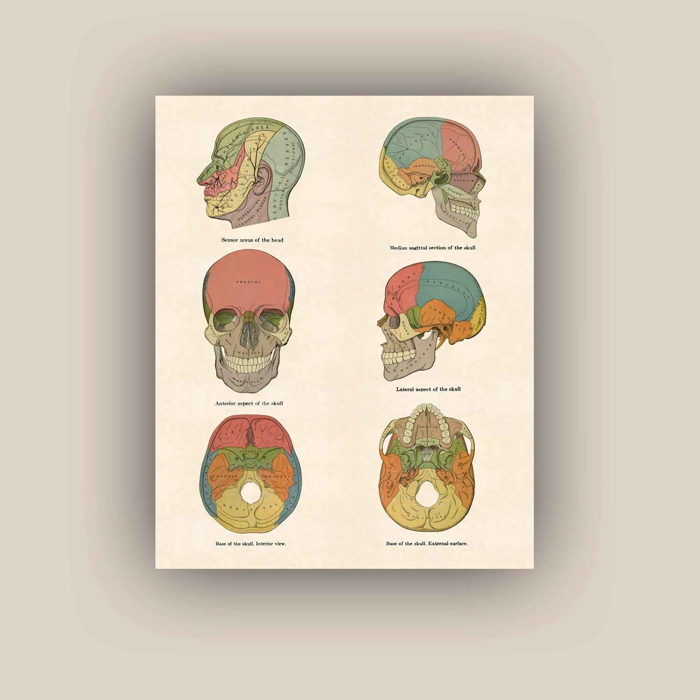 Anatomía cráneos arte anatomía carteles educativos