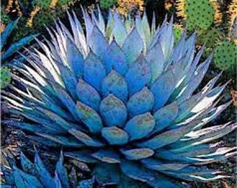 Blue Agave Nectar Cleansing Conditioner