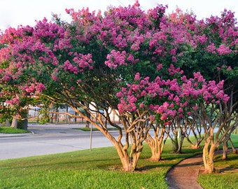 4 Pack - Your Choice of Crape Myrtle Trees - Spectacular Blooms all Summer Long
