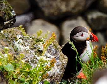 Instant Download  Puffin, Iceland- Digital 8x10 300 dpi jpeg file