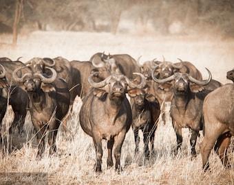 "Photo Print: ""Armed and Dangerous"" - Cape Buffalo Herd, Tarangire National Park, Tanzania"