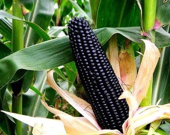 Aztec Black Corn, ancient heirloom, 30 seeds non GMO, early plants, black flint corn, blue corn meal, gorgeous