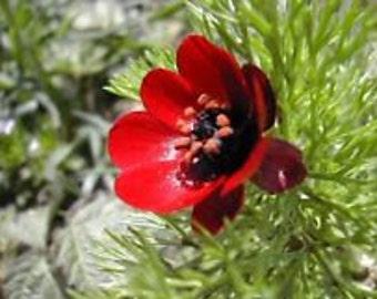 Red Pheasant Eye Adonis Flower Seeds / Perennial   25+