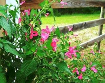 Wild Watermelon Sage (Salvia) live plant (Ornamental)