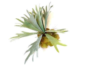 2 sizes, Faux staghorn fern, fake flowers, artificial plant, air plant, air fern, artificial plant, faux succulent, succulent wall art
