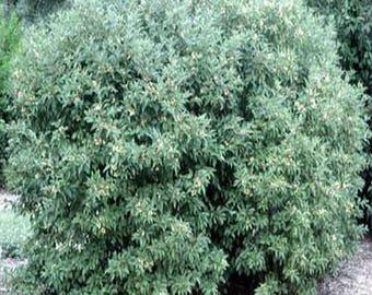 100 Gray Dogwood Tree Seeds, Cornus Racemosa