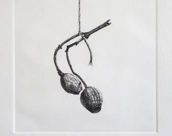Gum Nuts, Australian Native, Tethered, Monochrome, Etching, Limited Edition, Hand Pulled,  Still Life, Intaglio, Printmaking, Work on Paper