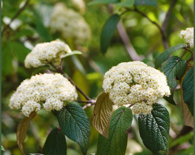 White Viburnum Flower Photography, Flower Thank You Note or Greeting Card, Printable Card, Instant Download Thank You Card, White Flower Art