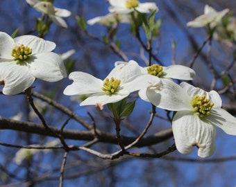 White Dogwood Flowers Photograph, available in 5x7, 8x10, and 11x14 inches