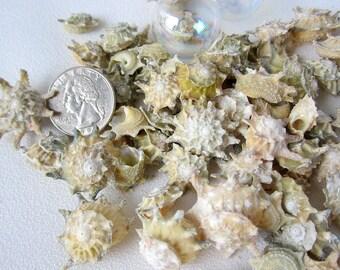 "Beach Decor Sea Shells - Nautical Decor Seashells - Astrea Turban Spiky Shells - Beach Wedding Shells - Beach House Decor - .5-1.25"" - 24PC"