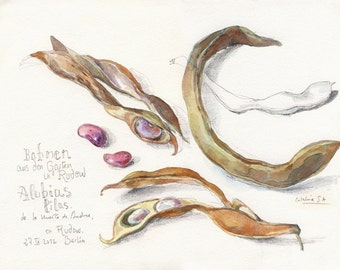 Purple beans still life - ORIGINAL watercolor and pencil drawing - botanical drawing of vegetable by Catalina