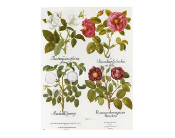 Rose Botanical Besler Florilegium Print Book Plate SALE Buy 3, get 1 more Free