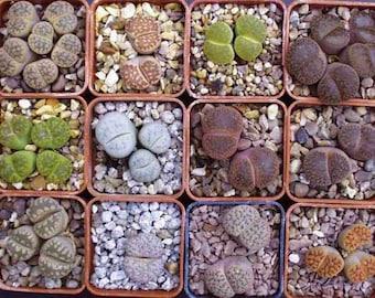 Lithops Assortment - 50 seeds - Living Stones Mixture Succulent