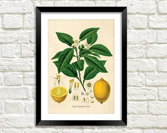 LEMON TREE PRINT: Vintage Botanical Yellow Fruit Art Illustration Wall Hanging (A4 / A3 Size)