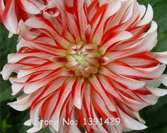 Dahlia Bulbs, (not Dahlia Seeds), Holland Dahlia Flower 3 Bulbs (item No: 8)