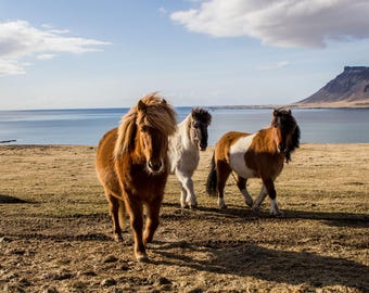 Instant download print icelandic ponies horses horse pony iceland wall art iceland