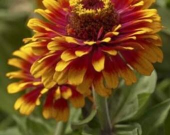 Zinnia Zowie Yellow Flame 10 seeds