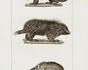 1835 Antique PORCUPINE Print, Hedgehog Breeds Zoology , 182 Years Old Engraving