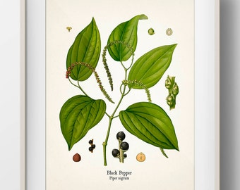 Vintage Black Pepper Botanical Print - KO-76 - Fine art print of an antique natural history botanical illustration