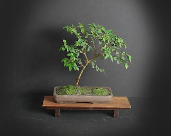 Jabaticaba bonsai tree, Fruiting collection from LiveBonsaiTree