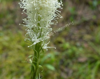 Bear Grass Flower